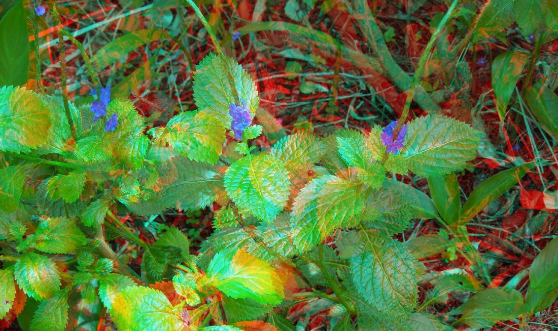 3D Anaglyph Porterweed