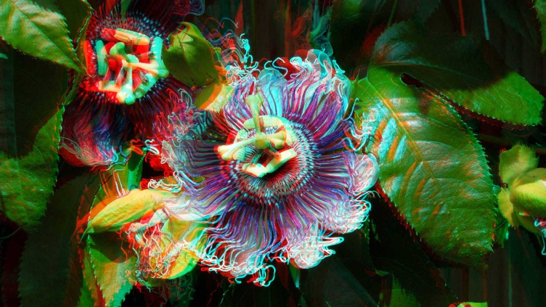 3d anaglyph Passion Flower